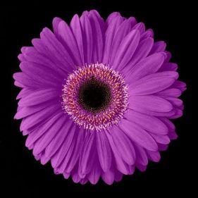 621840_Purple-Gerbera-Daisy