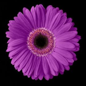 621840_Purple-Gerbera-Daisy