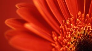 red_gerbera_daisy-HD