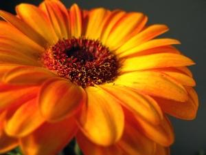 Orange_Gerbera_Daisy