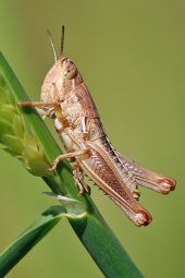 400px-Young_grasshopper_on_grass_stalk02