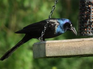 800px-Grackle_in_my_garden