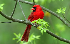 beautiful_male-cardinal