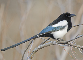 Adult Black-billed Magpie (Pica pica).  Gunnison County, Colorado. April.