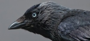 cropped-jackdaw-14-jun-10-29821-e1369820406818