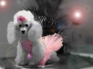 Poodle_Ballerina_Wallpaper_mq8mv