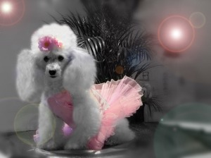 Poodle_Ballerina_Wallpaper_mq8mv