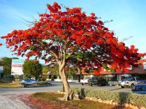 Royal_Poinciana