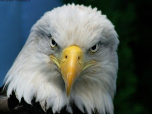 bald_eagle-normal