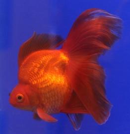 Goldfish_Ryukin