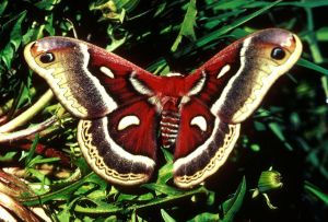1280px-Cecropia_moth_with_wings_expanded