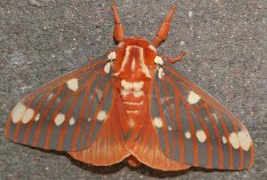 7706 - Royal Walnut Moth (Citheronia regalis) 1