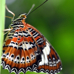 red_lacewing_butterfly_480x480