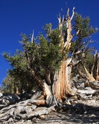 Big_bristlecone_pine_Pinus_longaeva