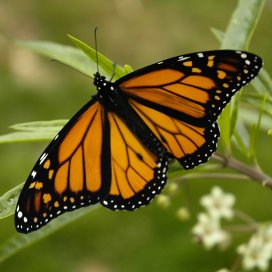 Monarch_Butterfly_17-03-2006_6-44-40_p.m.