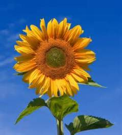 sunflower whole