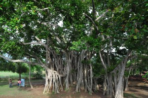 Banyan_tree-2