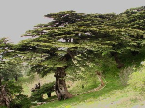 cedars_of_Lebanon_chouf_39579