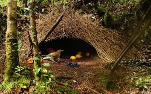 dsc2256vogelkop-bowerbird-his-boweramblyornis-inornatusarfak-mountains-garden-housewest-papua12-06