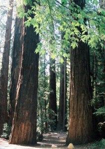 redwoods-lrg