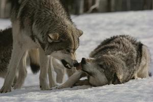 the-alpha-male-gray-wolf-canis-lupus-jim-and-jamie-dutcher