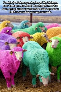 Dyed Sheep