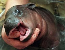 happy-baby-hippo