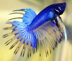 betta_fish2