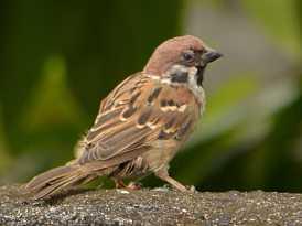 Eurasian_Tree_Sparrow-Manado